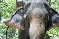 asia elefant Royaltyfri Foto