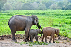 Asia elephant Royalty Free Stock Photos