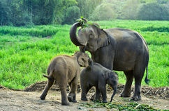 Asia elephant. With calf in Thailand Royalty Free Stock Images