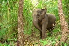 Asia elephant Royalty Free Stock Image