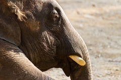 Asia elephant Stock Photo