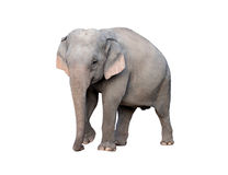 Asia elephant Royalty Free Stock Image