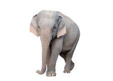 Asia elephant Stock Image