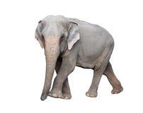 Asia elephant Stock Photography