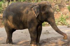 Asia elephant. Full body in the zoo Royalty Free Stock Photo