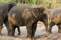 Asia elephant. Full body in the zoo Stock Photo