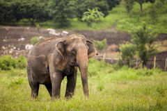 Asia elephant in green field.  Royalty Free Stock Photo
