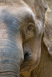 Asia elephant head. The closeup look of a female Asia elephant head Royalty Free Stock Images