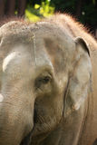 Asia elephant. Head of Asia elephant in Thailand Stock Images