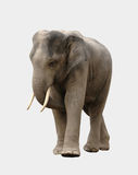 Asia elephant isolated Stock Photography