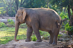 Asia elephant in Thailand Stock Images