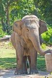 Asia elephant in Thailand Stock Image