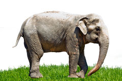 Asia elephant in Thailand Royalty Free Stock Photos