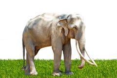 Asia elephant in Thailand Royalty Free Stock Photos