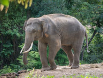 Asia elephent tether with chain Royalty Free Stock Image