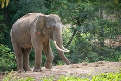 Asia elephent tether with chain Royalty Free Stock Photos