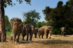 Asia elephent tether with chain in thailand Royalty Free Stock Photo