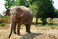 Asia elephent tether with chain in thailand Royalty Free Stock Images