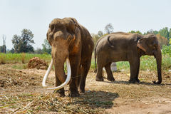 Asia elephent tether with chain in thailand Royalty Free Stock Photography