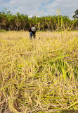 Asia farmers harvesting rice Royalty Free Stock Photography