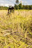 Asia farmers harvesting rice Royalty Free Stock Image