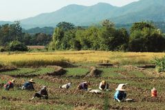 Asia farmers Royalty Free Stock Photo
