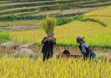 Asia farmers working on terraced rice fields Royalty Free Stock Photography