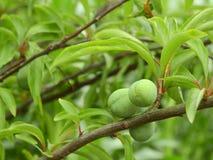 Plum tree, plum stock photos