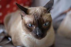 Asia, gato de Tailandia - y x28; Focus& selectivo x29; Imágenes de archivo libres de regalías