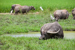 Asia Herds buffalo is eating grass in the field. Herds buffalo is eating grass in the field Royalty Free Stock Photos