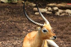 Asia ibex Stock Photo
