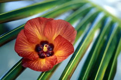 ASIA INDIAN OCEAN MALDIVES TROPICAL FLOWERS Royalty Free Stock Photo