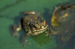 ASIA INDONESIA BALI ANIMAL REPTIL FROG Royalty Free Stock Photo
