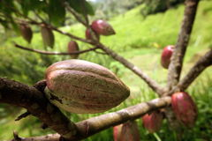 ASIA INDONESIA BALI LANDSCAPE CACAO COCOA Royalty Free Stock Image