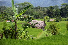 ASIA INDONESIA BALI LANDSCAPE RICEFIELD Royalty Free Stock Images