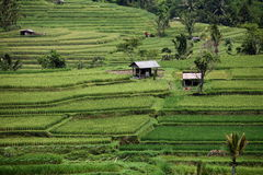 ASIA INDONESIA BALI LANDSCAPE RICEFIELD Stock Photography