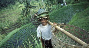 ASIA INDONESIA BALI RICE TERRACE UBUD TEGALLALANG Stock Photo