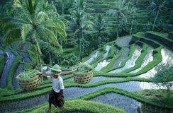 ASIA INDONESIA BALI RICE TERRACE UBUD TEGALLALANG Royalty Free Stock Images