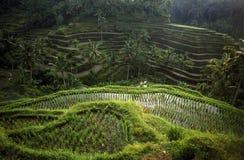 ASIA INDONESIA BALI RICE TERRACE UBUD TEGALLALANG Royalty Free Stock Image