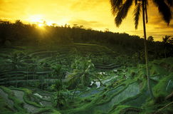 ASIA INDONESIA BALI RICE TERRACE UBUD TEGALLALANG. The landscape of the ricefields and rice terrace neat Tegallalang near Ubud of the island Bali in indonesia in Royalty Free Stock Photo
