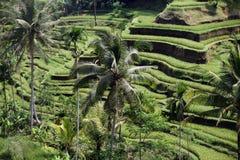 ASIA INDONESIA BALI RICE TERRACE UBUD TEGALLALANG Stock Photography