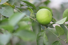Asia lemon tree. In the garden Royalty Free Stock Photography