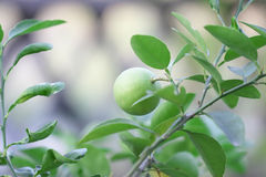 Asia lemon tree Stock Photos