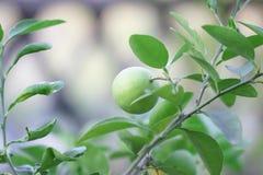 Asia lemon tree. In Garden Stock Photos