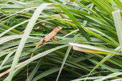 asia little lizard royalty free stock image