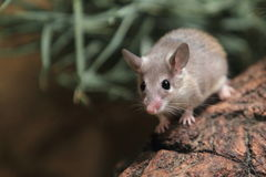 Asia minor spiny mouse. The asia minor spiny mouse on the wood Royalty Free Stock Image