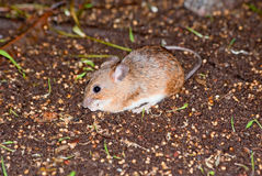 Asia Minor spiny mouse Stock Photo