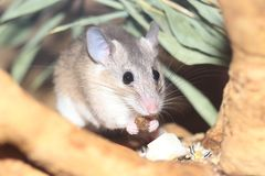 Asia Minor spiny mouse royalty free stock images