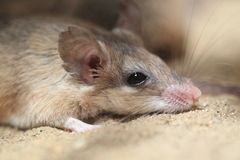 Asia Minor spiny mouse Royalty Free Stock Photo