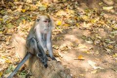 Asia monkey wildlife royalty free stock images